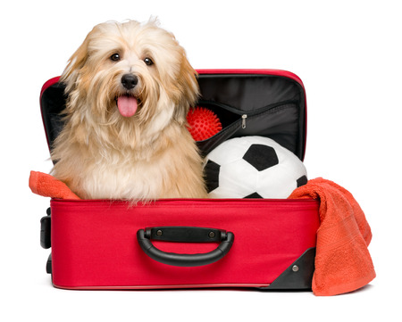 Happy reddish Bichon Havanese dog is sitting in a red traveling suitcase with his soccer ball and toys and waiting for departure - Isolated on a white background Stock Photo
