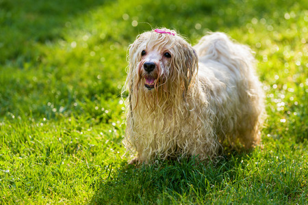 havanais: Happy playful wet Havanese dog is waiting for a water beam in a sunny grassy field Stock Photo