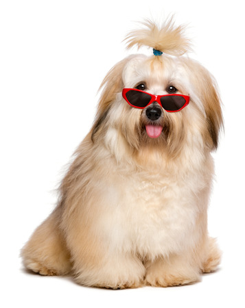 Beautiful happy reddish Bichon Havanese dog is wearing a funny red sunglasses and looking at camera -  Isolated on a white background