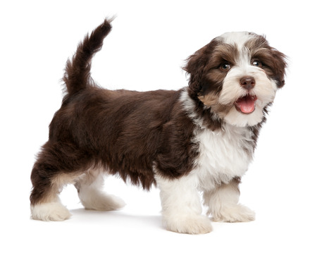 havanais: A beautiful smiling dark chocolate and white colored havanese puppy dog is standing, isolated on white background