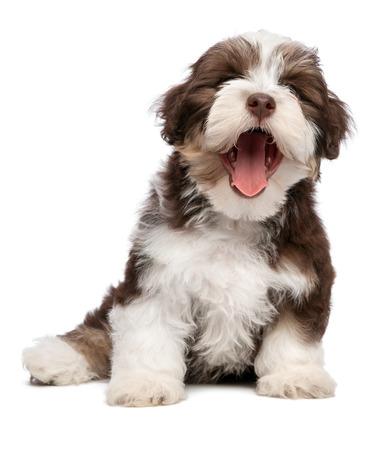 El chocolate bostezo divertido y de color blanco cachorro de perro bichón habanero se sienta, aislado en fondo blanco