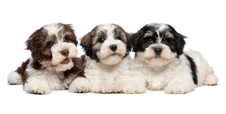 cute guy: Three cute bichon havanese puppies are lying next to each other in front of camera, isolated on white background
