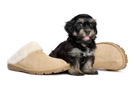 havanais: Cute happy havanese puppy dog is sitting next to the owners slippers