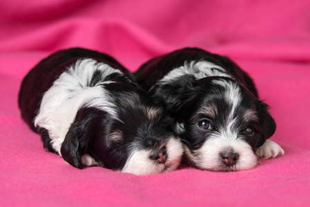bedspread: Two cute little havanese puppies dog are lying on a soft pink bedspread, one looking at camera Stock Photo