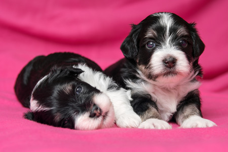 havanais: Two cute little havanese puppies dog are lying on a soft pink bedspread, one looking at camera Stock Photo