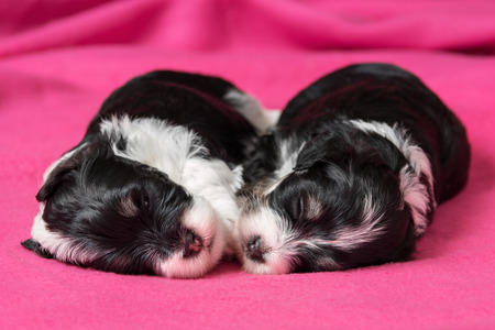 bedspread: Two cute little havanese puppies dog are sleeping on a soft pink bedspread Stock Photo