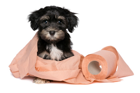 havanais: Funny little black and tan havanese puppy dog is playing with a roll of peach toilet paper and looking at camera, isolated on white background