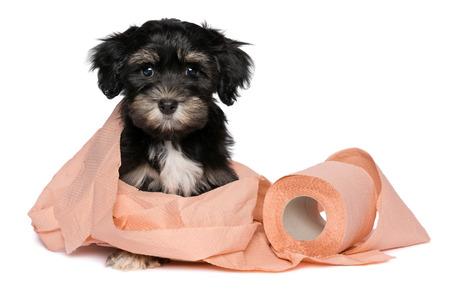 Grappig weinig zwarte en tan havanese puppy hond speelt met een rol van perzik toiletpapier en kijken naar de camera, op een witte achtergrond Stockfoto