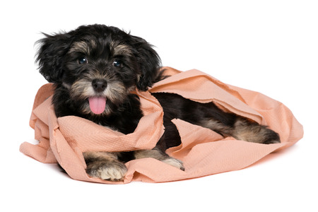 havanais: Funny smiling black and tan havanese puppy dog is playing with peach toilet paper and looking at camera, isolated on white background