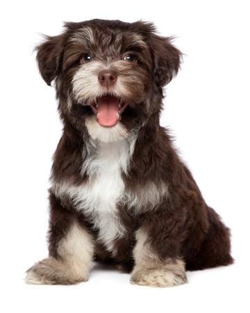 Grappige lachen chocoladekleurige havanese puppy hond zit, op een witte achtergrond