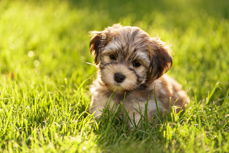 dog toy: Cute little havanese puppy dog is sitting in the grass in backlight