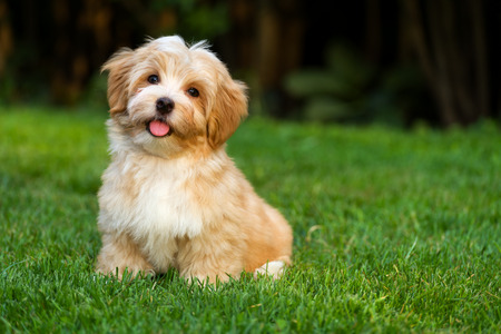 Happy little orange havanese puppy dog is sitting in the grass Standard-Bild