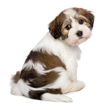 havanais: Cute Bichon Havanese puppy dog is sitting and looking at camera - photographed from behind, isolated on white background Stock Photo