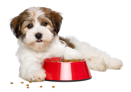 Happy Bichon Havanese puppy dog is lying beside a red bowl  Stock Photo