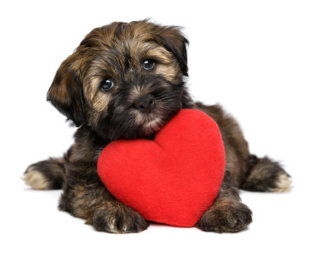 woeful: A cute lover valentine havanese puppy dog with a red heart is looking upward, isolated on white background
