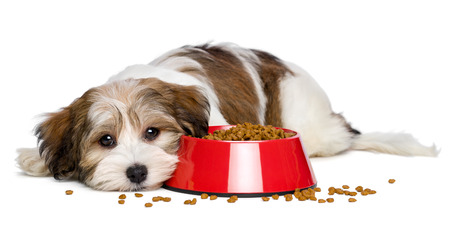 havanais: Cute Bichon Havanese puppy dog is lying beside a red bowl of dog food and looking at camera - isolated on white background