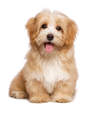 sweet: Beautiful happy reddish havanese puppy dog is sitting frontal and looking at camera, isolated on white background