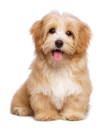 lindo: Hermoso perro feliz perrito havanese rojizo est� sentada frente y mirando a la c�mara, aislado en fondo blanco