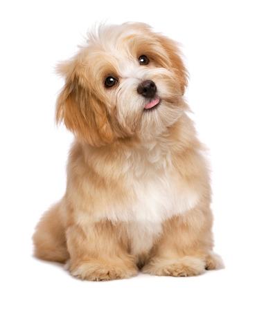 chien: Belle heureux chiot rougeâtre havanese chien est assis frontal et regardant vers le haut, isolé sur fond blanc