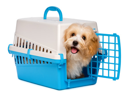 Cute happy reddish havanese puppy dog is looking out from a blue and gray pet crate, isolated on white background Foto de archivo