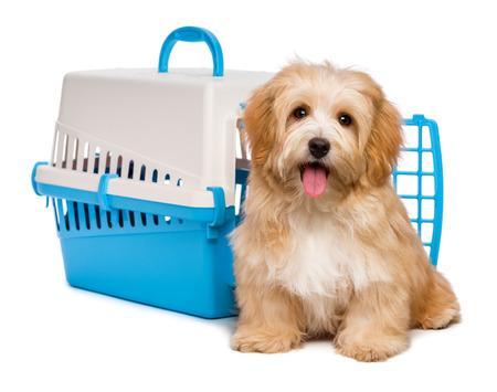 Leuk gelukkig roodachtige havanese puppy hond zit voor een blauw en grijs huisdier krat en kijken naar de camera, geïsoleerd op een witte achtergrond
