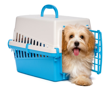 havanais: Cute happy reddish havanese puppy dog is inside a blue and gray pet crate and step out, isolated on white background