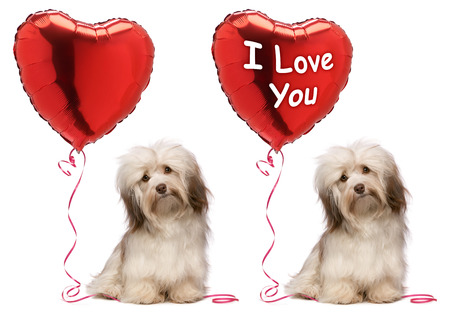 havanais: A lover chocolate valentine havanese dog set with a red heart balloon, isolated on white background