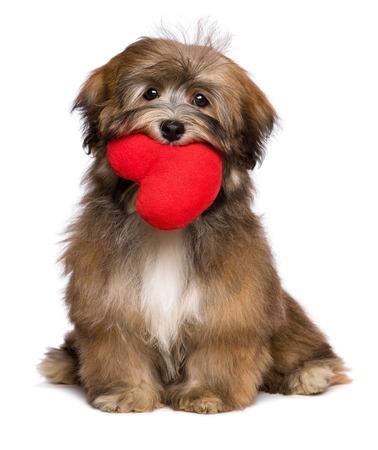 Mooie minnaar valentijn havanese puppy hond houdt een rood hart in haar mond, geïsoleerd op een witte achtergrond Stockfoto