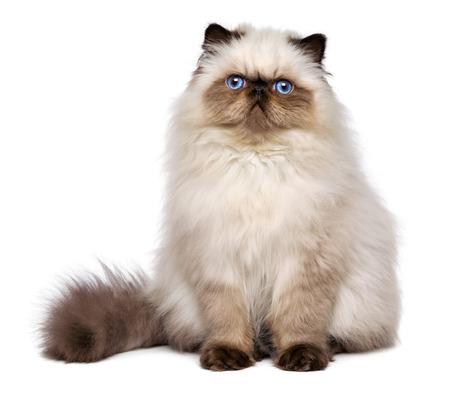 Leuke 3 maanden oude Perzische seal colourpoint kitten zit frontale, geïsoleerd op een witte achtergrond