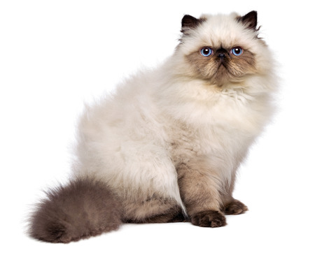Cute 3 month old persian seal colourpoint kitten is sitting sideways and looking at cameral, isolated on white background 写真素材