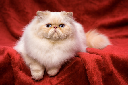 Beautiful persian cream colorpoint cat whith blue eyes is lying frontal on a red velvet background