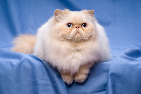 catling: Beautiful persian cream colorpoint cat whith blue eyes is lying frontal on a blue textile background Stock Photo