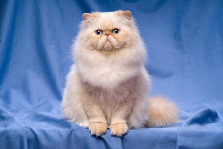 catling: Beautiful persian cream colorpoint cat whith blue eyes is sitting frontal on a blue textile background