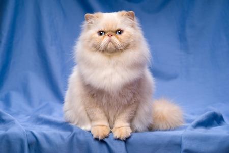 Mooie Perzische room colorpoint kat whith blauwe ogen zit frontaal op een blauwe achtergrond van textiel