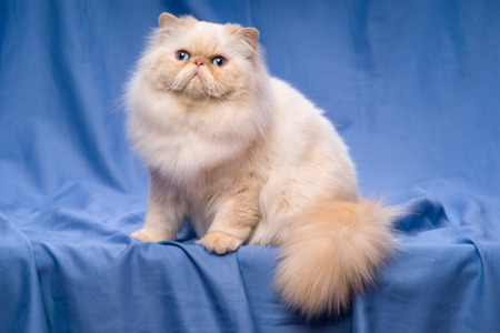catling: Beautiful persian cream colorpoint cat whith blue eyes is sitting on a blue textile background