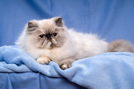 catling: Cute persian blue tortie colorpoint cat is lying on a blue bedspread before blue background Stock Photo