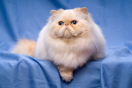 catling: Beautiful persian cream colorpoint cat whith blue eyes is lying on a blue textile background