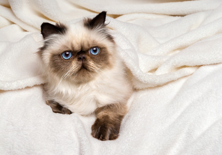 bedcover: Cute young persian seal colourpoint kitten is lying on a soft bed and looking out from under a white bedspread