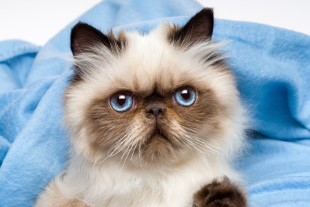 Close up of a cute young persian seal colourpoint kitten is lying in front of a blue bedspread background Stock Photo