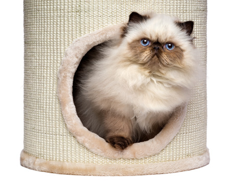3 month: Cute 3 month old persian seal colourpoint kitten is looking out from a cat tower, isolated on white background