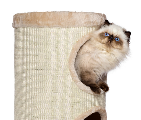 Cute 3 month old persian seal colourpoint kitten is looking out from a cat tower photo