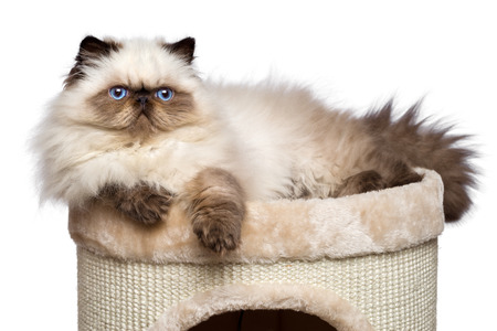 Cute 3 month old persian seal colourpoint kitten is lying on top of a cat tower, isolated on white background photo