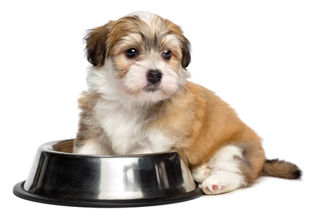 Cute hungry Bichon Havanese puppy dog is sitting next to a metal food bowl and waiting for feeding - isolated on white background Standard-Bild