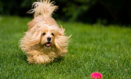 havanese: Happy orange Havanese dog is chasing the ball in the grass Towards camera