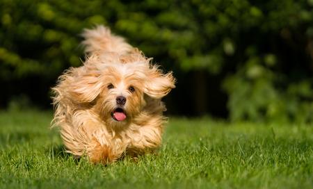 perro corriendo: Perro bichón habanero naranja feliz corre rápido hacia la cámara en la hierba