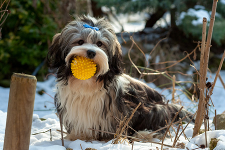 dog toy: Playful cute Havanese dog is sitting in the snow and keep his favorite ball in his mouth