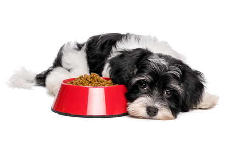 dog biscuit: Cute Bichon Havanese puppy dog is lying beside a red bowl of dog food and looking at camera - isolated on white background