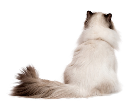 persian cat: Cute young persian seal colourpoint cat is sitting and looking up - photographed from behind, isolated on white background