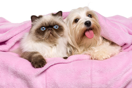 Cute young persian seal colourpoint cat and a happy havanese dog is lying on a soft pink bedspread, isolated before white background