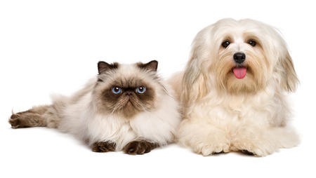 Happy havanese dog and a young persian cat lying together, isolated on white background
